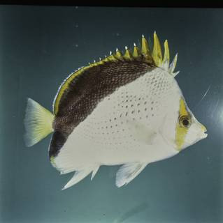 To NMNH Extant Collection (Chaetodon tinkeri FIN027761 Slide 120 mm)