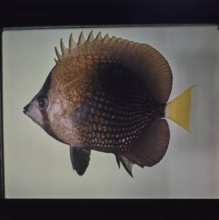 To NMNH Extant Collection (Chaetodon trichrous FIN027764B Slide 120 mm)