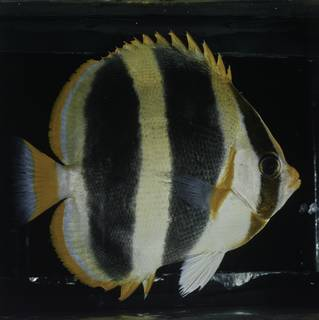 To NMNH Extant Collection (Chaetodon tricinctus FIN027765 Slide 120 mm)
