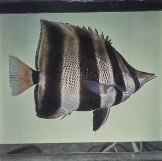 To NMNH Extant Collection (Chelmonops truncatus FIN027787 Slide 120 mm)