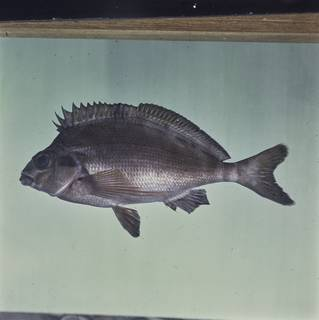 To NMNH Extant Collection (Cheilodactylus fuscus FIN027834 Slide 120 mm)