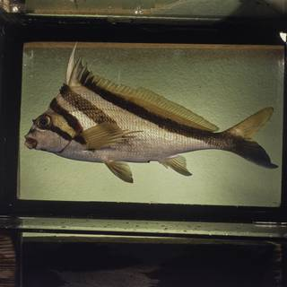 To NMNH Extant Collection (Cheilodactylus vestitus FIN027839 Slide 120 mm)