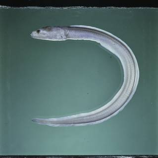 To NMNH Extant Collection (Kaupichthys hyoproroides FIN027855B Slide 120 mm)