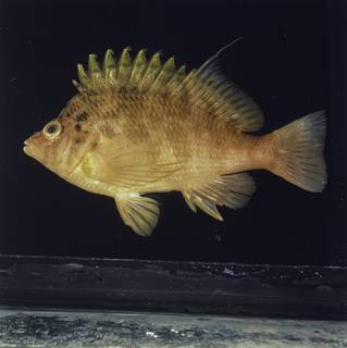 To NMNH Extant Collection (Cirrhitichthys aureus FIN027867 Slide 120 mm)
