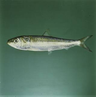 To NMNH Extant Collection (Sardinella longiceps FIN027964 Slide 120 mm)