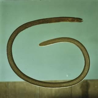 To NMNH Extant Collection (Heteroconger enigmaticus FIN027991 Slide 120 mm)