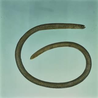 To NMNH Extant Collection (Heteroconger enigmaticus FIN027992 Slide 120 mm)