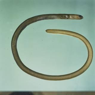 To NMNH Extant Collection (Heteroconger perissodon FIN027996 Slide 120 mm)