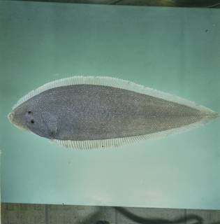 To NMNH Extant Collection (Paraplagusia blochii FIN028011 Slide 120 mm)