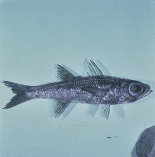 To NMNH Extant Collection (Epigonus fragilis FIN028132 Slide 120 mm)