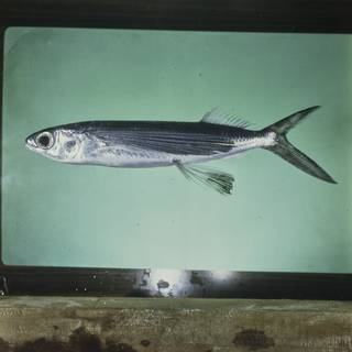 To NMNH Extant Collection (Cypselurus oligolepis FIN028137 Slide 120 mm)