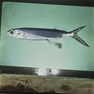 To NMNH Extant Collection (Cypselurus oligolepis FIN028137B Slide 120 mm)