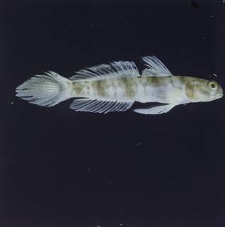 To NMNH Extant Collection (Amblyeleotris callopareia FIN028212 Slide 120 mm)