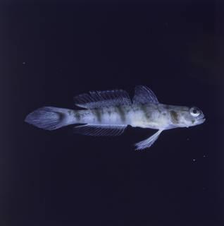 To NMNH Extant Collection (Amblyeleotris callopareia FIN028213 Slide 120 mm)