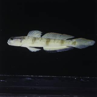To NMNH Extant Collection (Amblyeleotris gymnocephala FIN028227 Slide 120 mm)