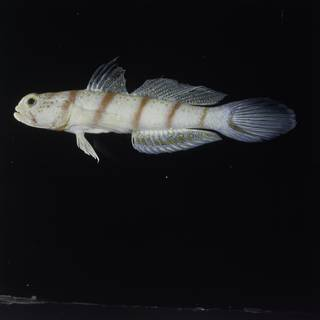 To NMNH Extant Collection (Amblyeleotris fasciata FIN028235 Slide 120 mm)
