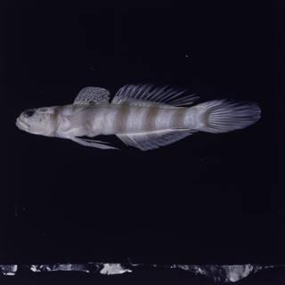 To NMNH Extant Collection (Amblyeleotris ogasawarensis FIN028241 Slide 120 mm)