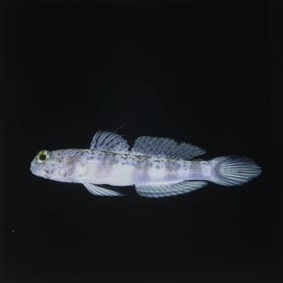 To NMNH Extant Collection (Amblyeleotris periophthalma FIN028243 Slide 120 mm)