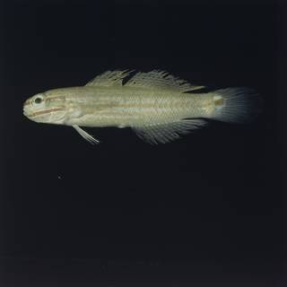 To NMNH Extant Collection (Amblygobius decussatus FIN028294 Slide 120 mm)