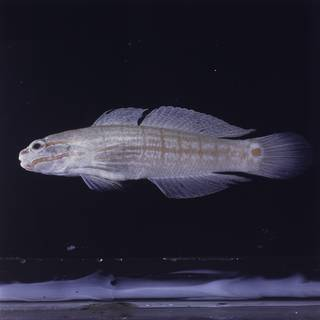 To NMNH Extant Collection (Amblygobius decussatus FIN028295 Slide 120 mm)