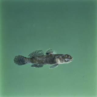 To NMNH Extant Collection (Bathygobius laddi FIN028357 Slide 120 mm)