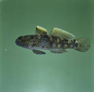 To NMNH Extant Collection (Bathygobius meggitti FIN028359 Slide 120 mm)