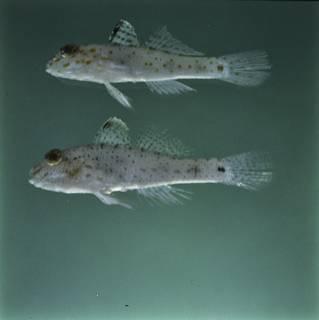 To NMNH Extant Collection (Fusigobius pallidus and Fusigobius neophytus FIN028396 Slide 120 mm)