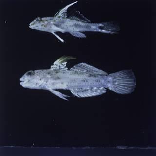 To NMNH Extant Collection (Fusigobius melacron and Fusigobius inframaculatus FIN028426 Slide 120 mm)