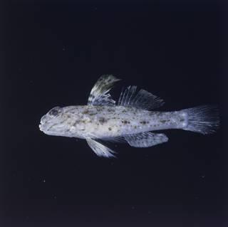 To NMNH Extant Collection (Fusigobius melacron FIN028428 Slide 120 mm)