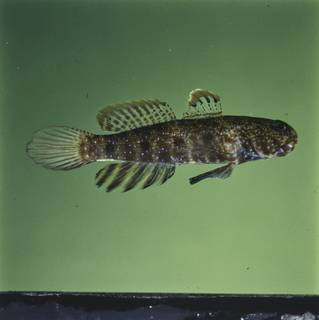 To NMNH Extant Collection (Cryptocentrus caeruleomaculatus FIN028459 Slide 120 mm)