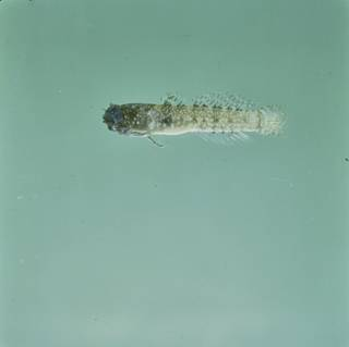 To NMNH Extant Collection (Hetereleotris tentaculata FIN028520 Slide 120 mm)