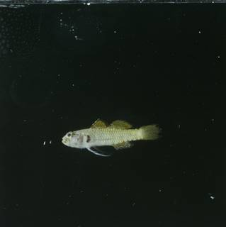 To NMNH Extant Collection (Eviota monostigma FIN028572 Slide 120 mm)