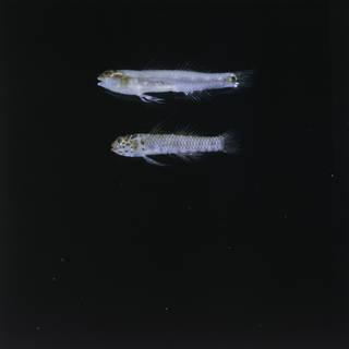 To NMNH Extant Collection (Eviota sebreei x E. pardalota FIN028579 Slide 120 mm)