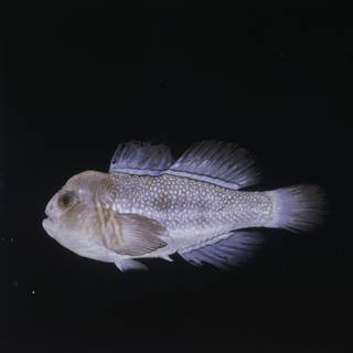 To NMNH Extant Collection (Gobiodon reticulatus FIN028647 Slide 120 mm)