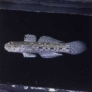 To NMNH Extant Collection (Istigobius decoratus FIN028667 Slide 120 mm)