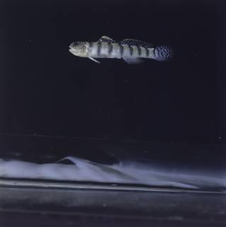 To NMNH Extant Collection (Kelloggella tricuspidata FIN028687 Slide 120 mm)