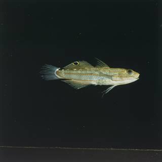 To NMNH Extant Collection (Koumansetta rainfordi FIN028689 Slide 120 mm)
