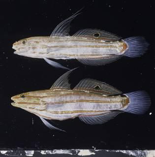 To NMNH Extant Collection (Koumansetta rainfordi FIN028690 Slide 120 mm)