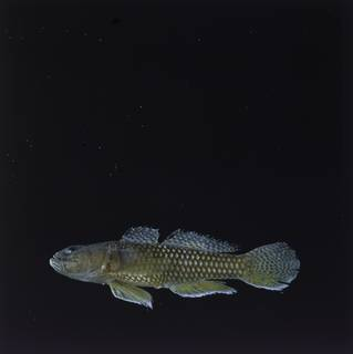 To NMNH Extant Collection (Priolepis psygmophilia FIN028761 Slide 120 mm)