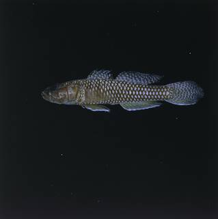 To NMNH Extant Collection (Priolepis psygmophilia FIN028762 Slide 120 mm)