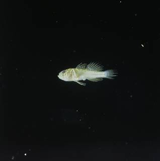 To NMNH Extant Collection (Priolepis semidoliata FIN028767 Slide 120 mm)