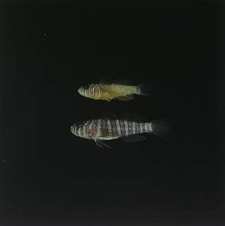 To NMNH Extant Collection (Priolepis semidoliata and Priolepis cincta FIN028770 Slide 120 mm)