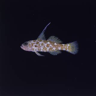 To NMNH Extant Collection (Trimma naudei FIN028849 Slide 120 mm)
