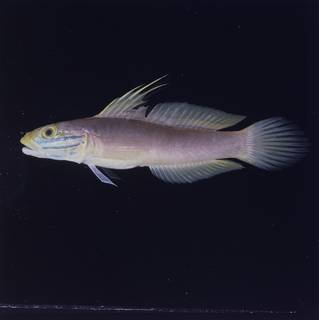 To NMNH Extant Collection (Valenciennea bella FIN028883 Slide 120 mm)