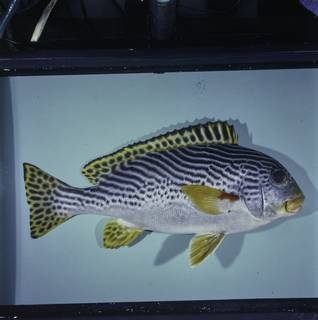 To NMNH Extant Collection (Plectorhinchus lineatus FIN029002 Slide 120 mm)