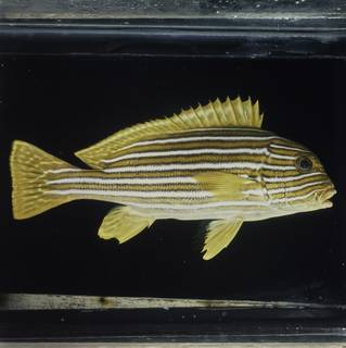 To NMNH Extant Collection (Plectorhinchus polytaenia FIN029015 Slide 120 mm)