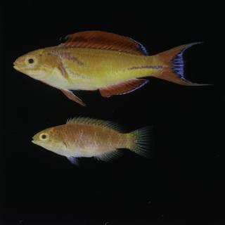 To NMNH Extant Collection (Cirrhilabrus johnsoni FIN029540 Slide 120 mm)