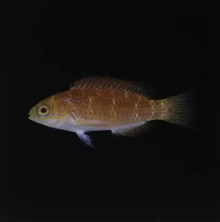To NMNH Extant Collection (Cirrhilabrus johnsoni FIN029541 Slide 120 mm)