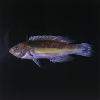 To NMNH Extant Collection (Cirrhilabrus luteovittatus FIN029566B Slide 120 mm)