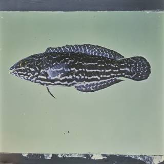 To NMNH Extant Collection (Coris bulbifrons FIN029636 Slide 120 mm)